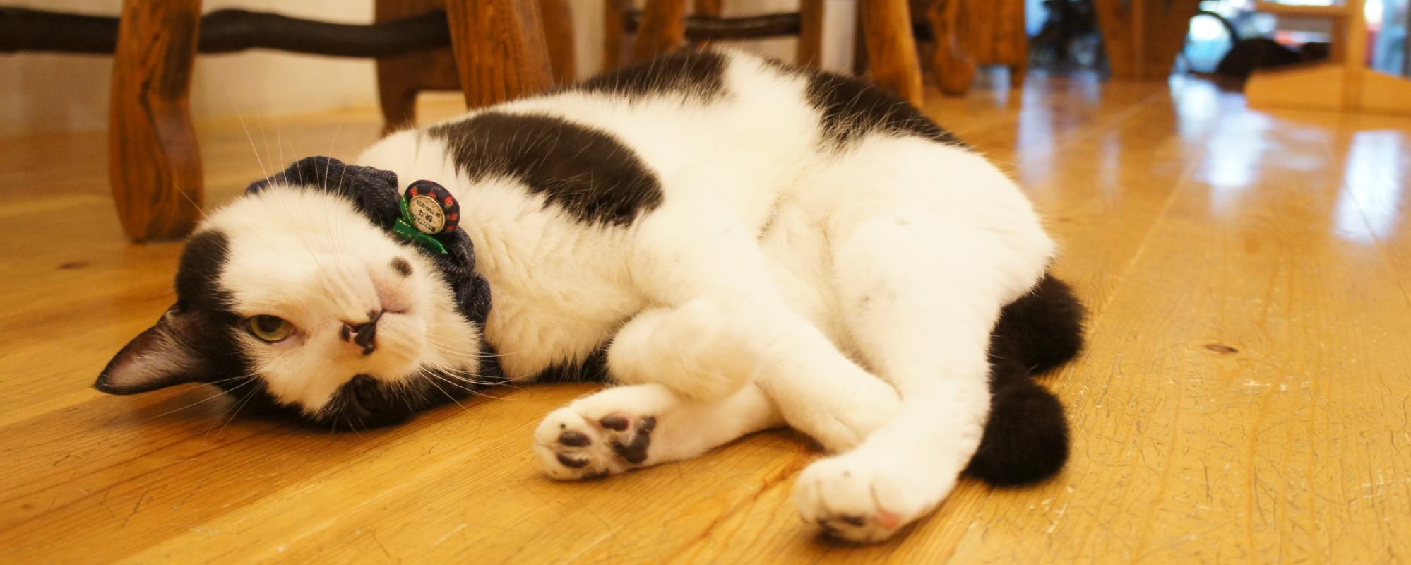 大阪の猫カフェは【猫カフェてんてん】懐こい猫たちと触れ合い放題&なで放題!
